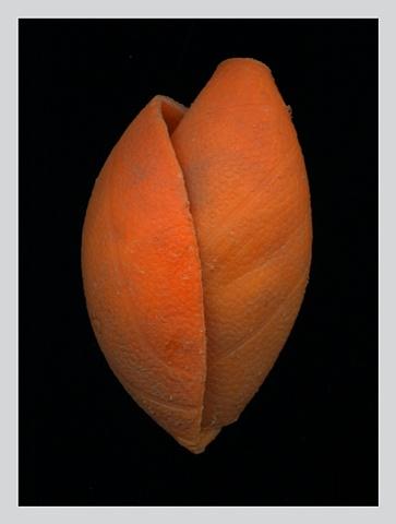 """Orange Bud"""