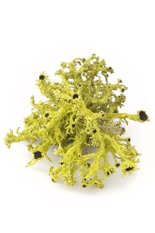 Columbiana vulpina (brown-eyed wolf lichen
