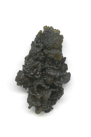 Collema auriforme, (jelly lichen)