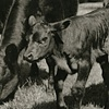 Angus Calf
