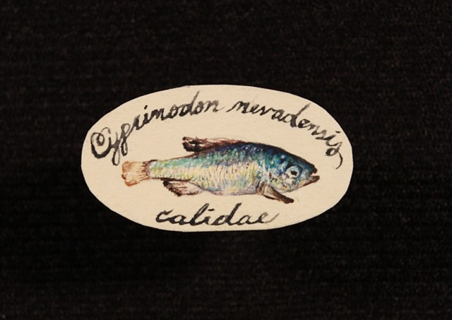 Cyprinodon Nevadensis pupfish