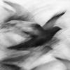 Pigeon Series Drawing #10