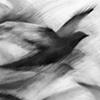 Pigeon Series Drawings