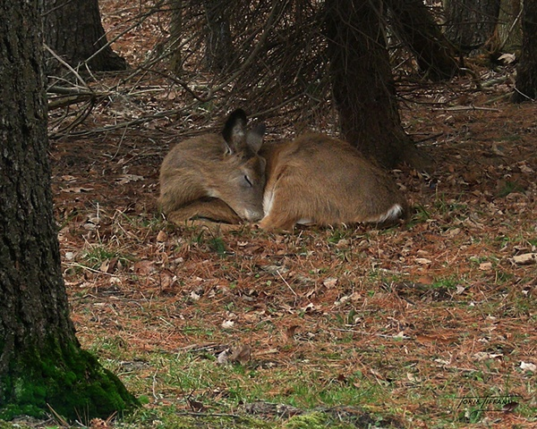 Faunagraphs, deer photo, sleeping deer photo, deer in the woods photo, nature photo, wildlife photo