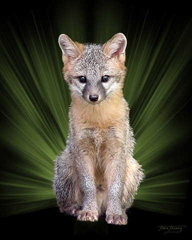Faunagraphs, wildlife, kit fox