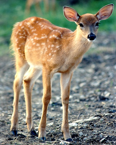 Faunagraphs, deer, wildlife, bambi