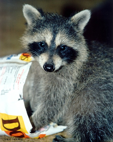 Faunagraphs, raccoon, wildlife