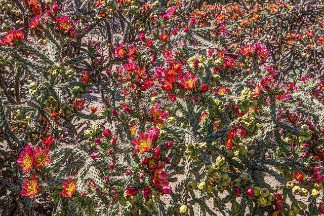 Bloomin Cholla