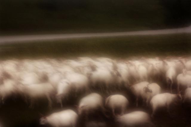 Goats and Sheep 2 Qinghai Province, China