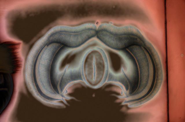 "Tridacna (Giant Clam), view c 2016 zone plate photograph archival pigment print 13""x20""  from Lorenz Oken, ""Allgemeine Naturgeschichte V. Zoologie"" 1843"