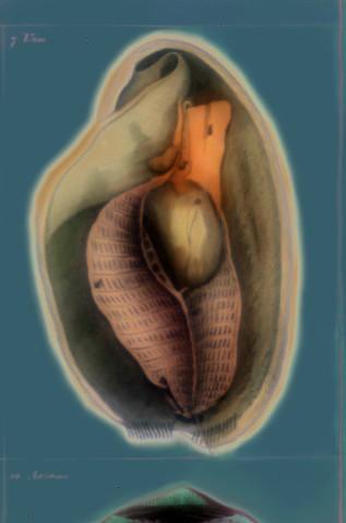"""Unio (Painter's Mussel) 2016 zone plate photograph archival pigment print 20""""x13""""  from Lorenz Oken, """"Allgemeine Naturgeschichte V. Zoologie"""" 1843"""