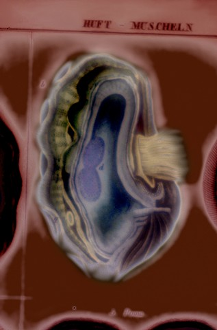 "Tridacna (Giant Clam), view b 2016 zone plate photograph archival pigment print 20""x13""  from Lorenz Oken, ""Allgemeine Naturgeschichte V. Zoologie"" 1843"