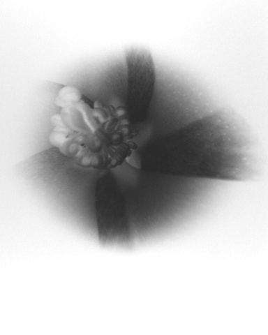 Cotton Flower (negative on paper) 1976