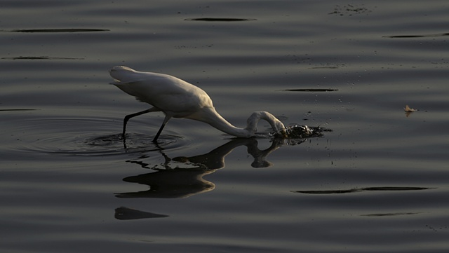Egret strikes