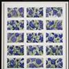 18 Blue Tulips