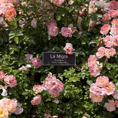 La Migra From The National Rose Garden Series