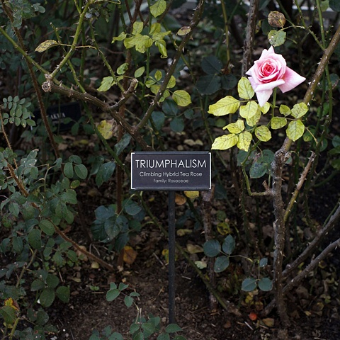 TRIUMPHALISM from The National Rose Garden Series
