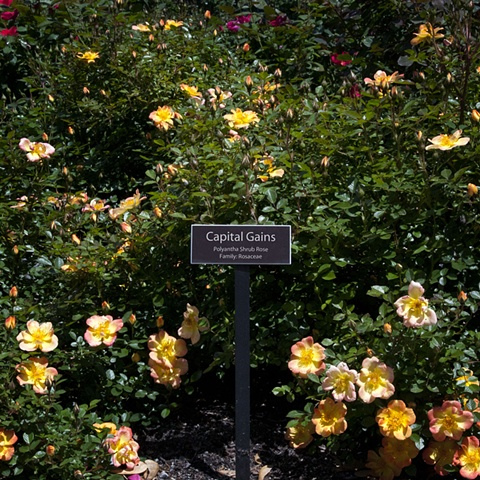 Capital Gains From The National Rose Garden Series