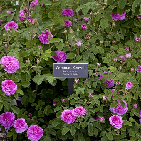 Corporate Growth From The National Rose Garden Series
