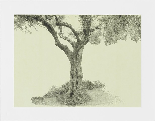 Olive tree, Garden of Gethsemane, Jerusalem,