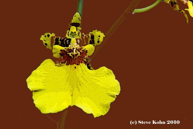 Oncidium No. 1