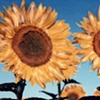 Sunflowers - Provence