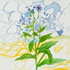 Borage Drawing