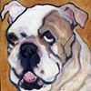 Cookie English Bulldog
