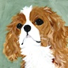 Little Royal King Charles Cavalier
