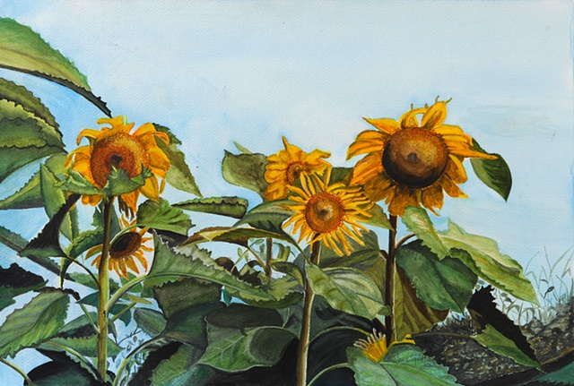 sunflowers in watercolor