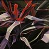 Foliage 1, Tri color Ti Plant