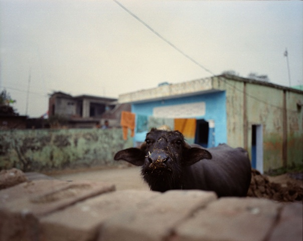 Buffalo; Bhojpur, Uttar Pradesh