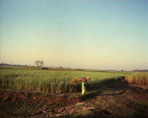 Farmer in green sari; Dhampur, Uttar Pradesh