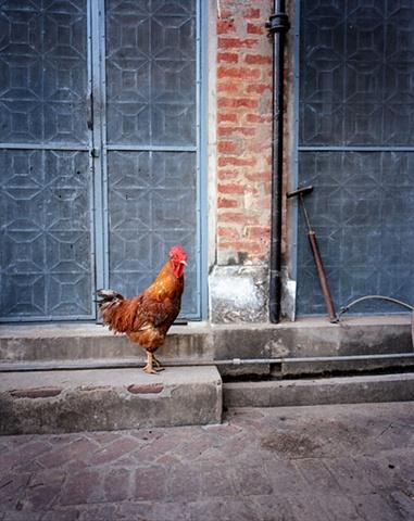 Rooster; Dajpur Village, Uttar Pradesh