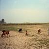 Goat-herder; Bhojpur, Uttar Pradesh