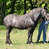 Ricky the Percheron.