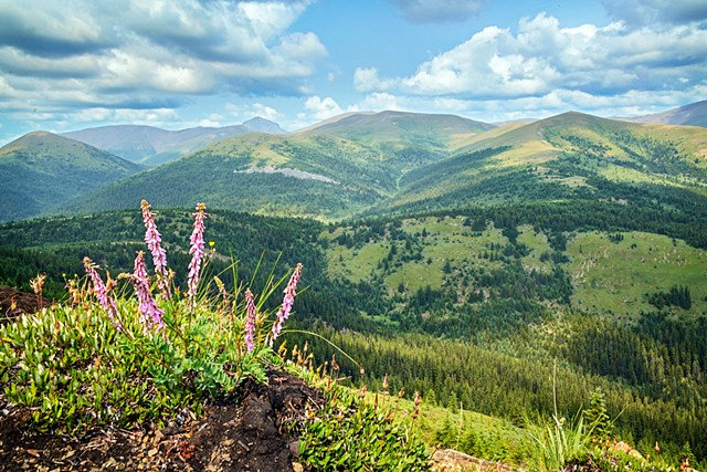 Wild Flowers on Wild Hay Ridge  July 2017