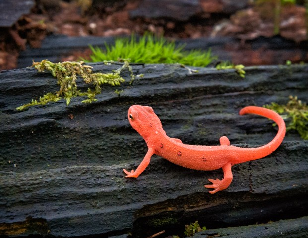 Eastern Newt  May 2014