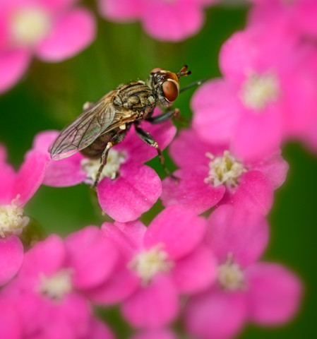 Fly on Pink  June 2014