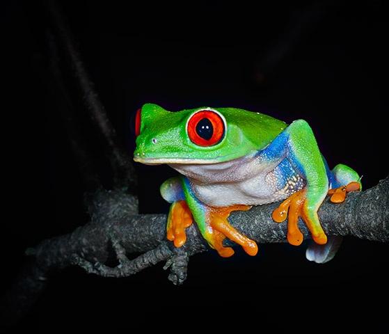 Red Eyed Tree Frog  Nov 2011