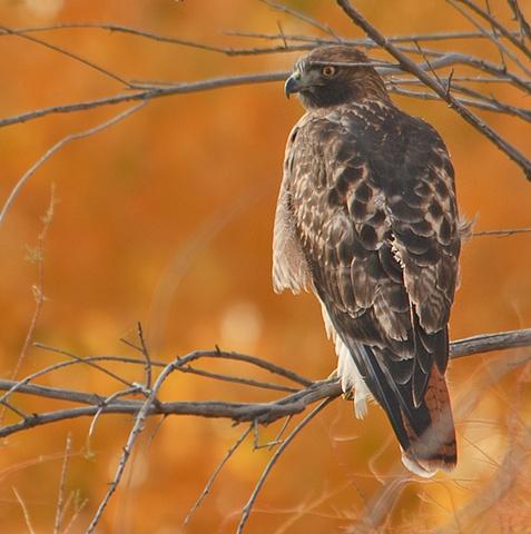Hawk 110 Nov 09 Bosque del Apache 807  Nov 2010