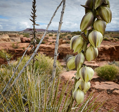 Agave Bloom - White Canyon