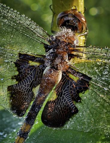 Morning Dragonfly  July 2013