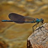 Dragonfly  June 2012