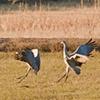 Sand Hill Cranes Landing  Nov 11 Bosque del Apache 1350  Nov 2010