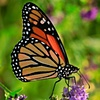 Monarch Butterfly  Aug 2010