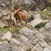 Bighorn Lamb with Mother