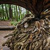 Blow Down Tree Root  Sep 2016