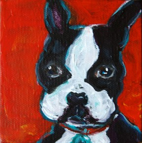 Boston Terrier intent on listening, waiting for a walk or treat