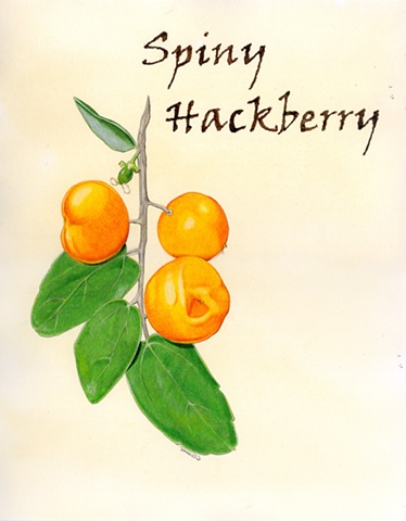 Watercolor of Spiny Hackberry, kitchen watercolor, orange home decor